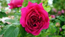 Damaskinių rožių hidrolatas (EKO), 100 ml