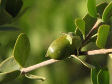 Jojobos aliejus (Simondsijų) (EKO), 10 ml ir 100 ml